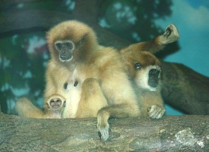 Gibbon lar femelle et son petit. © Ltshears, CC by SA 3.0