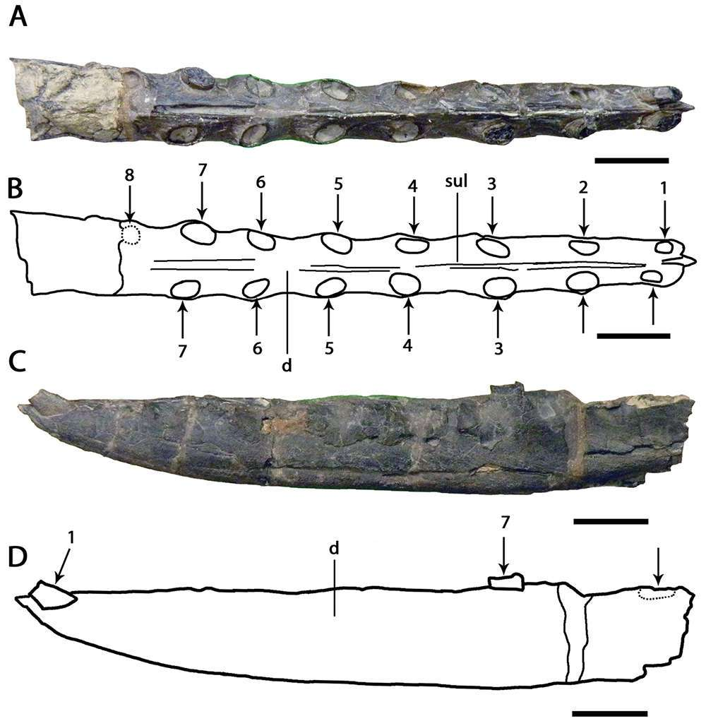 Les mâchoires caractéristiques du groupe Targaryendraco (autrefois classées dans le groupe des Ornithocheirus). © Taissa Rodrigues et Alexander Wilhelm Armin Kellner
