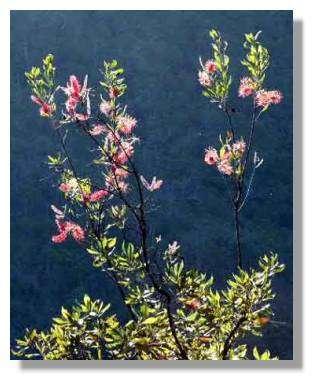 Grevillea gillivrayi, plante des maquis des terrains miniers.© Jean-Louis Ruiz