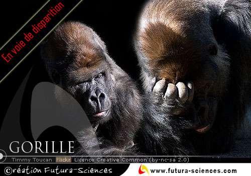 Gorille en voie de disparition