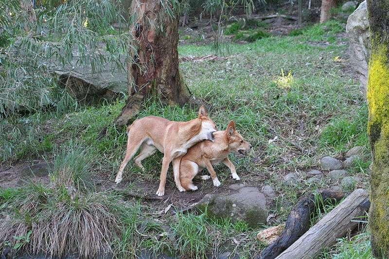 Dingos jouant. © TheGirlsNY, CCA-S A 2.0 Generic license