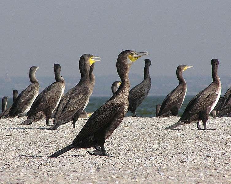 Cormorans sur une plage. © Andrew Butko, GNU FDL Version 1.2