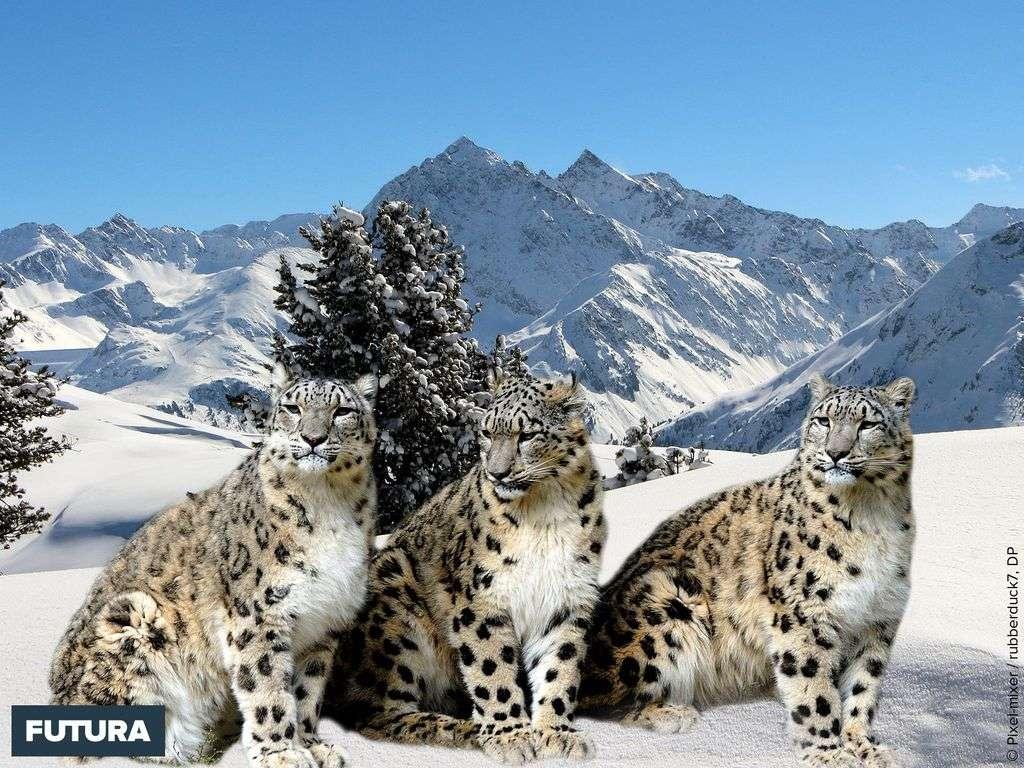 La panthère des neiges un félin énigmatique des montagnes d'Asie centrale
