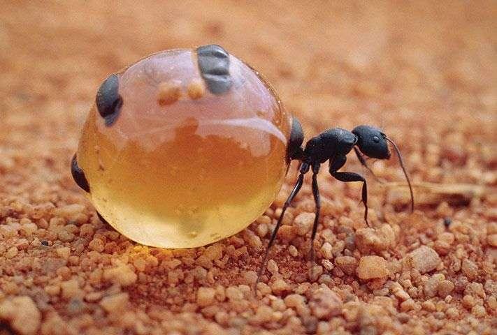 La fourmi pot de miel