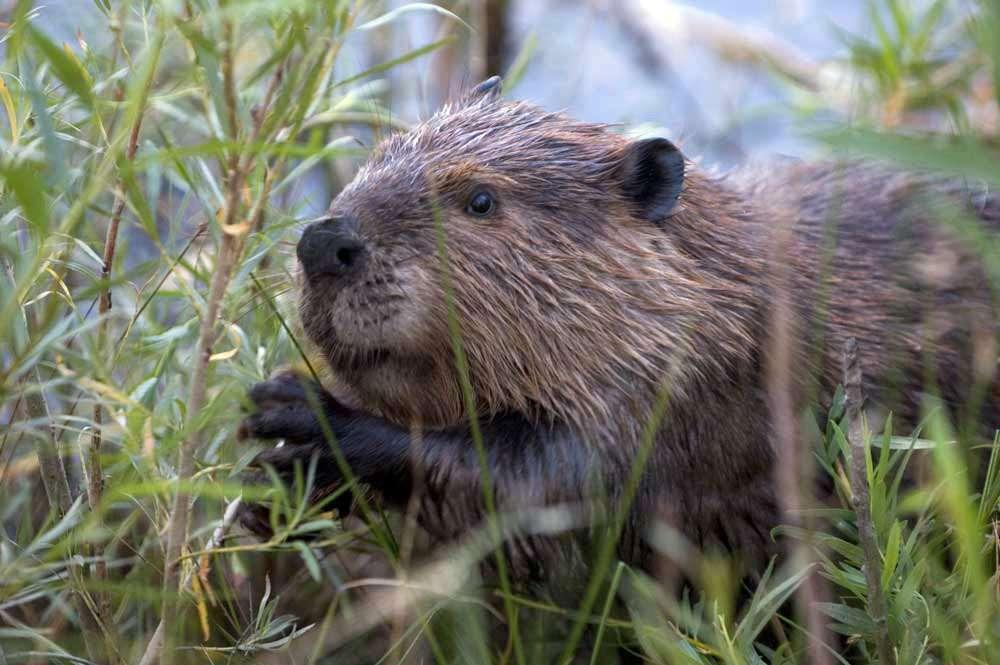 Un castor nord-américain, aussi appelé Castor canadensis. © Szmurlo, GNU 1.2