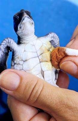 L'une des 26 tortues nées la veille et amenées au centre par un particulier. Elle présente une infection de l'ombilic qui la reliait à son sac vitellin. Elle sera soignée et élevée, comme les autres, jusqu'à ce qu'elle atteigne la taille de 40 centimètres de long. © Alexis Rosenfeld - Reproduction interdite