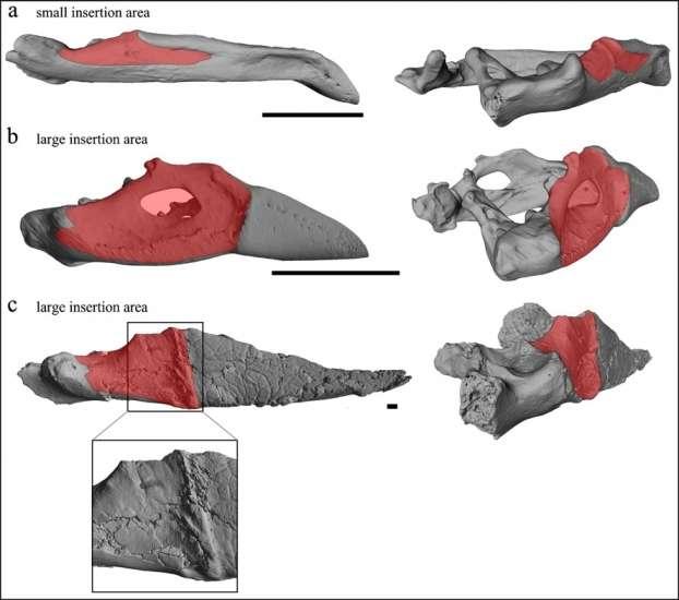 En rouge, l'insertion du muscle adducteur chez deux oiseaux actuels : un oiseau carnivore (la petite buse, en haut) et un mangeur de graines (le géospize à gros bec, au milieu). La surface est petite (small insertion area) chez le premier et grande (large) chez le second. Gastornis (en bas) présente une grande surface d'insertion musculaire, ce qui suggère que cet oiseau possédait de très volumineux muscles adducteurs lui permettant de broyer la matière végétale. © Angst et al., 2014