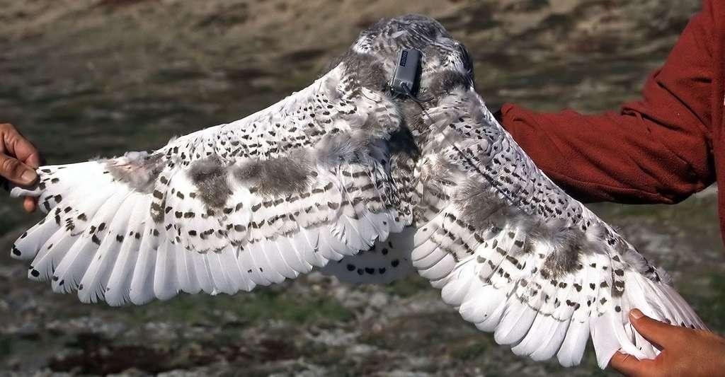 Uppik, un jeune mâle, a été équipé d'une balise juste avant son envol en août 2004. Il a été recapturé 250 kilomètres plus au sud. © A. Aebischer, tous droits réservés