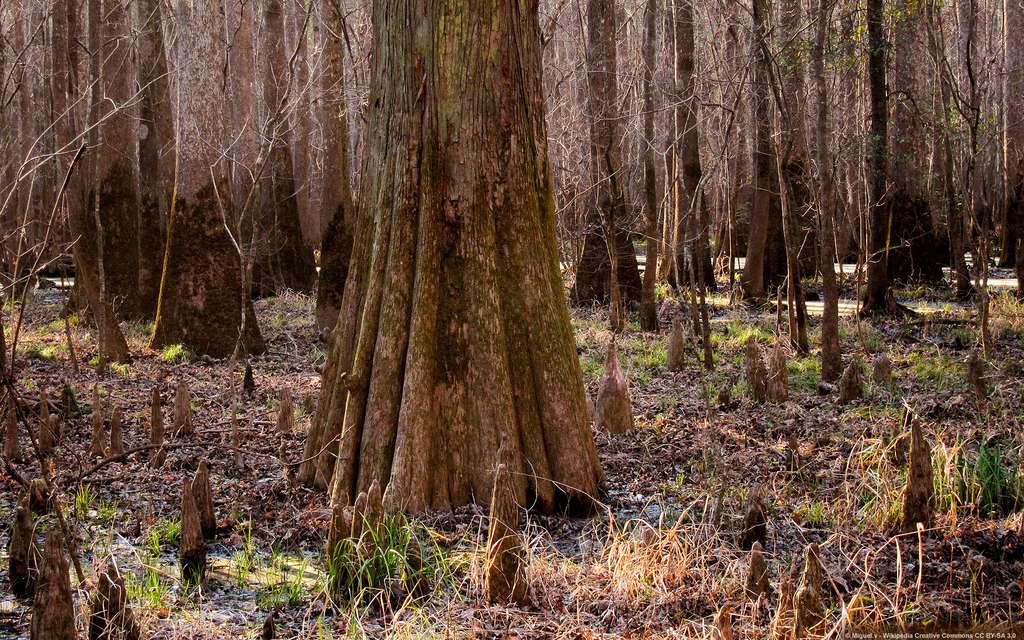 Le parc national de Congaree et son immense forêt primaire