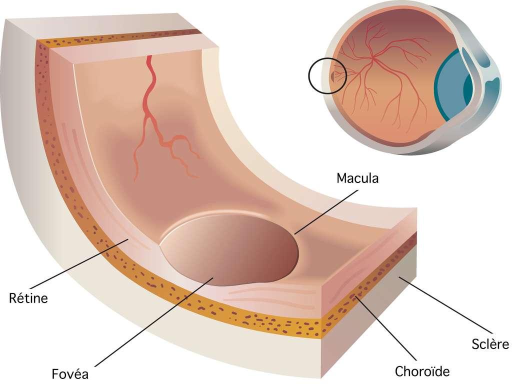 La macula est la partie en creux de la rétine tapissée de cellules photoréceptrices. Au centre se trouve la fovéa, une zone où se concentrent les cônes, spécialisés dans la vision de précision et des couleurs. © rob3000, Adobe Stock / traduction CD