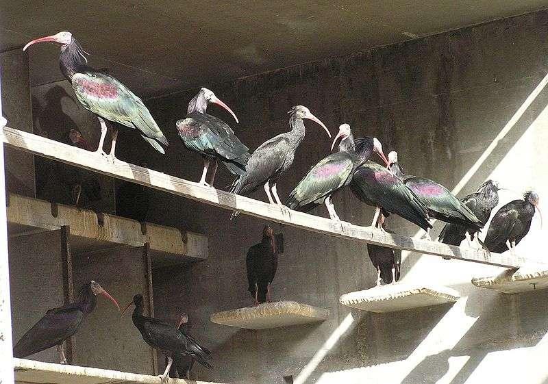 Élevage d'ibis chauves à l'université de Tel Aviv. © Eman, domaine public