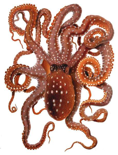 Callistoctopus macropus. © Comingio Merculiano, Wikimedia commons, DP