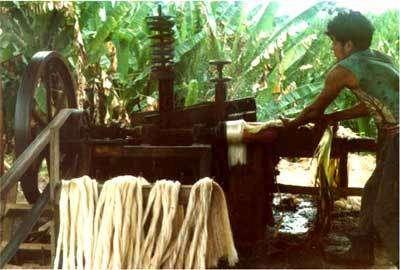 Culture de l'abaca. © DR