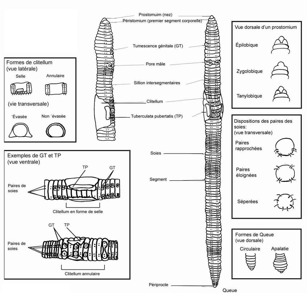 Anatomie complète d'un ver de terre. © DR