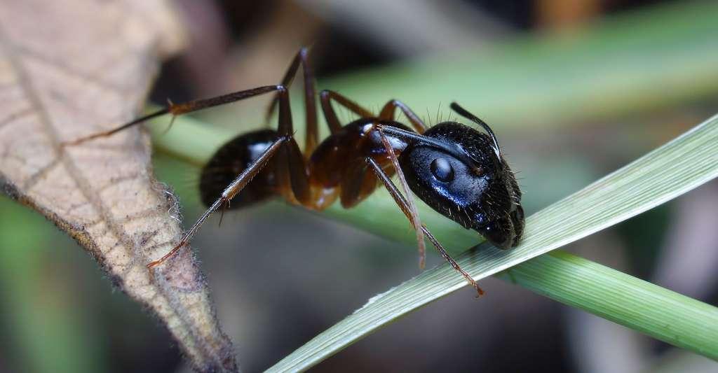 Les fourmis des insectes fascinants. © Instapp - Domaine public