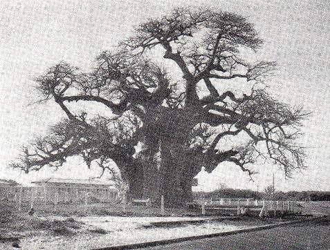 Le célèbre baobab de l'ellipse du point E (Dakar) abattu en 1971. Photo IFAN, Cocheteux Reproduction et utilisation interdites