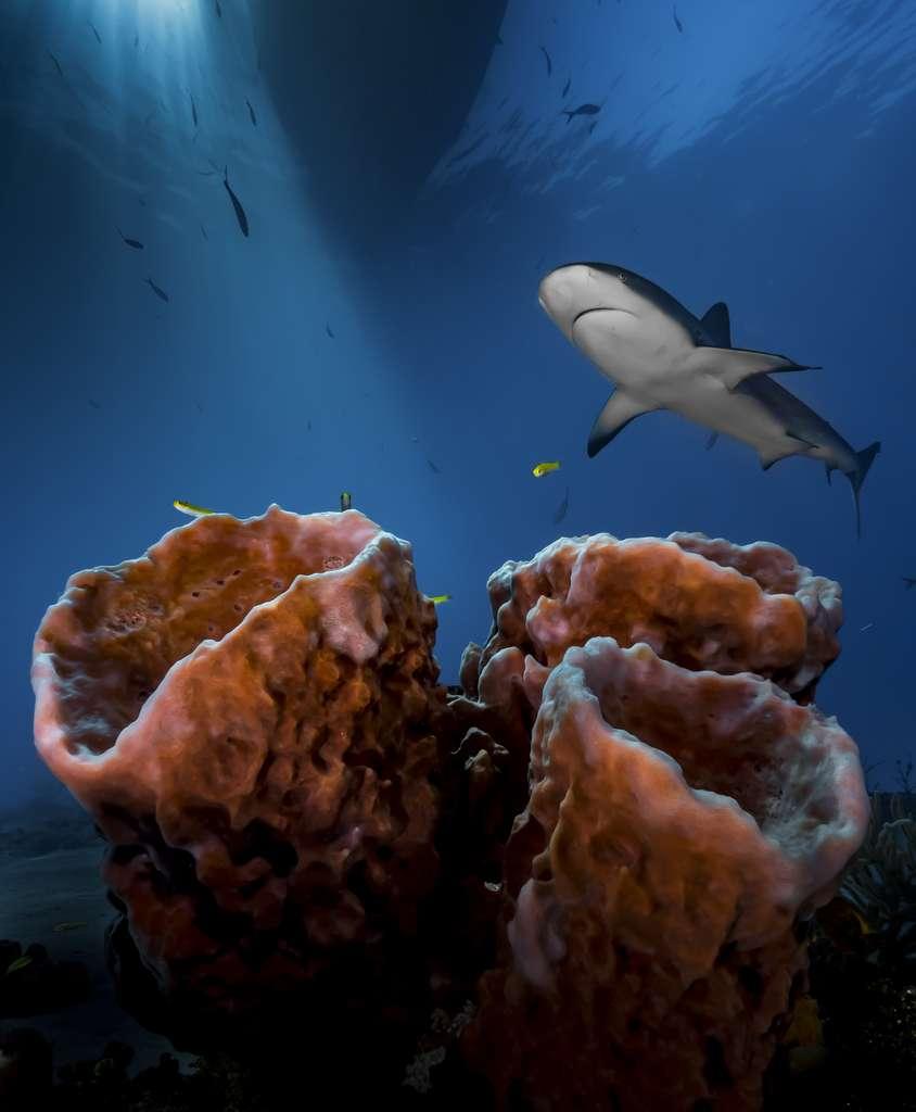 Un requin curieux aux Bahamas