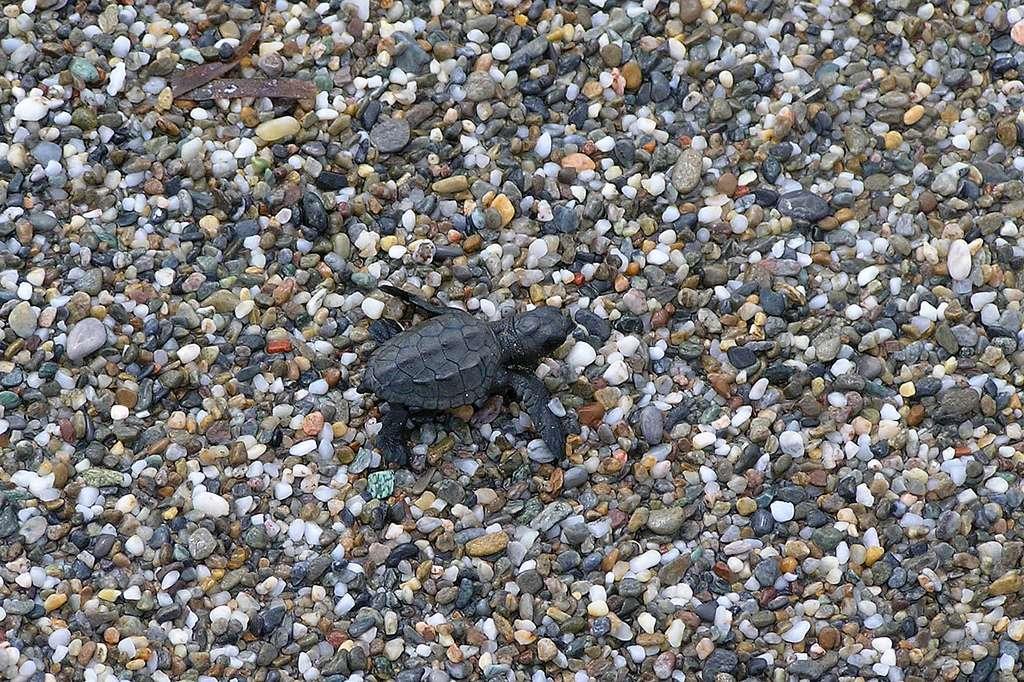 Bébé tortue caouanne juste après l'éclosion. © Frankenschulz, CC BY-NC-SA 2.0
