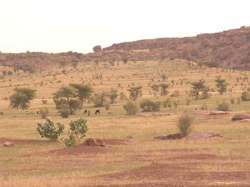 Couverture sableuse au pied de l'Affolé en Mauritanie (octobre 2005). La végétation est une steppe arbustive et arborée. Au fond, une retombée de sable éolien tapisse la partie basse de l'escarpement et témoigne de la migration de sable mobile. Au premier plan, des bovins pâturent une steppe graminéenne clairsemée.
