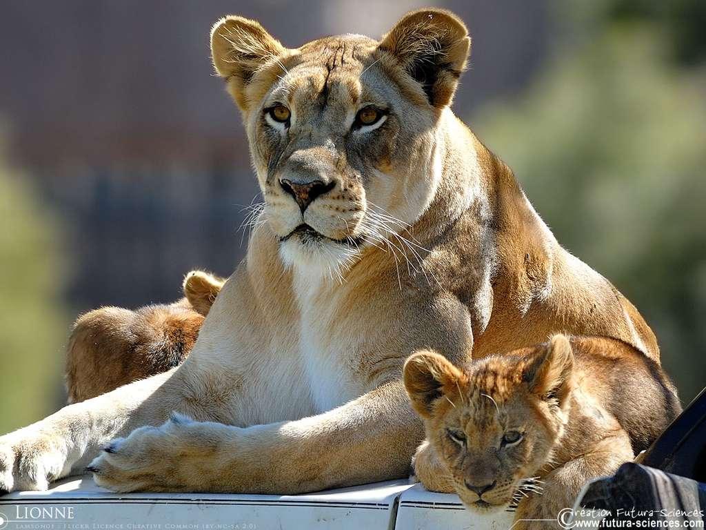 Fond D Ecran Lionne Et Ses Lionceaux
