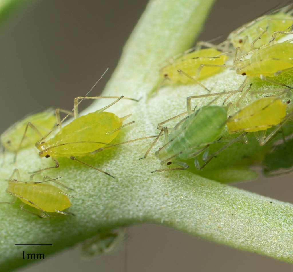 Le puceron vert de la pomme de terre (Macrosiphum euphorbiae) s'attaque à ce tubercule, mais aussi à la betterave, au chou, au concombre, à la laitue, au dahlia, au glaïeul, ou la rose trémière. © glmory, iNaturalist