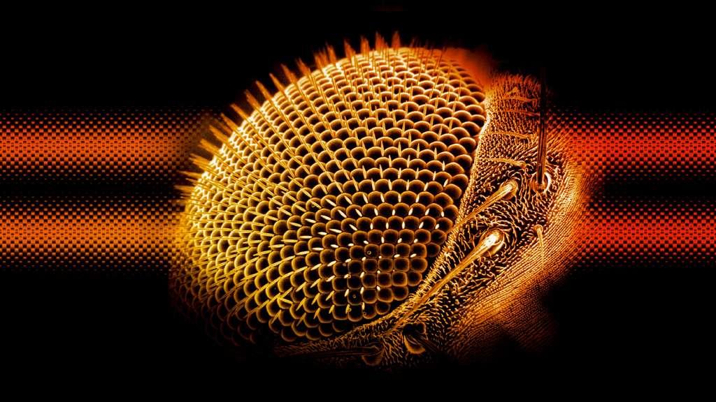 L'œil d'une drosophile vue au microscope électronique