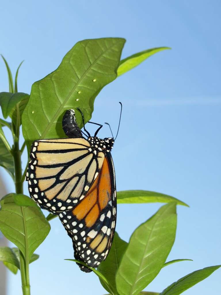 Ce monarque Danaus plexippus dépose ses œufs sur une feuille d'asclépiade de Curaçao (Asclepias curassavica). Cette plante est cultivée dans de nombreux jardins. Gare à son latex irritant pour les yeux, mais qui protège si bien la progéniture du papillon des parasites. © Jacobus de Roode