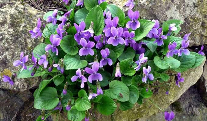 Un bouquet de violettes de Parme. © Insubria, Pixabay, DP