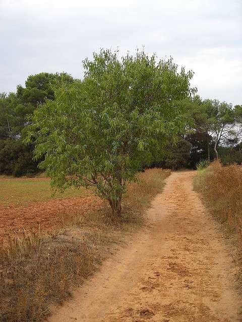 Prunus dulcis. © TreesOfTheWorld.net, Flickr CC by nc-sa 2.0