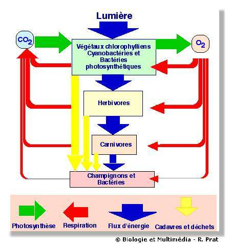 """Figure 31 - Cycle de la matière et flux d'énergie dans la biosphère. L'énergie solaire, captée au niveau de la photosynthèse, parcourt l'ensemble des êtres vivants en se dissipant à chaque étape. Le gaz carbonique, matière première de la photosynthèse est assimilé par les végétaux puis retourne dans l'atmosphère par la respiration de l'ensemble des êtres vivants. L'oxygène, """"déchet"""" de la photosynthèse est la source de la respiration de l'ensemble des êtres vivants."""