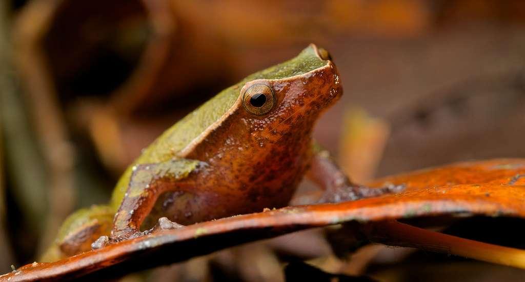 Plethodontohyla guentheri, une petite grenouille vert clair