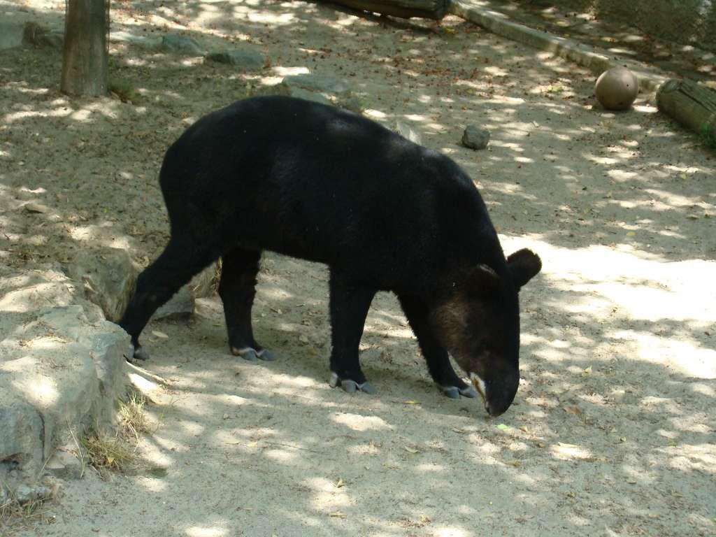 Tapir de montagne. Il s'agit du plus petit des tapirs d'Amérique du Sud. © mstickmanp, Flickr, cc by nc sa 2.0