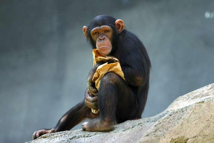 Jeune chimpanzé. © Aaron Logan, wikimedia commons, CC 2.5
