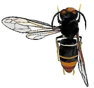 Le frelon asiatique, Vespa velutina, se reconnaît à son corps sombre et à ses pattes aux extrémités jaunes. Avec ses trois centimètres de longueur, il est plus petit que le frelon d'Europe (Vespa crabro). Son régime est composé de fruits et de nectar, mais pour nourrir ses larves, il préfère chasser différents insectes, dont les abeilles. © Salix, cc by nc sa