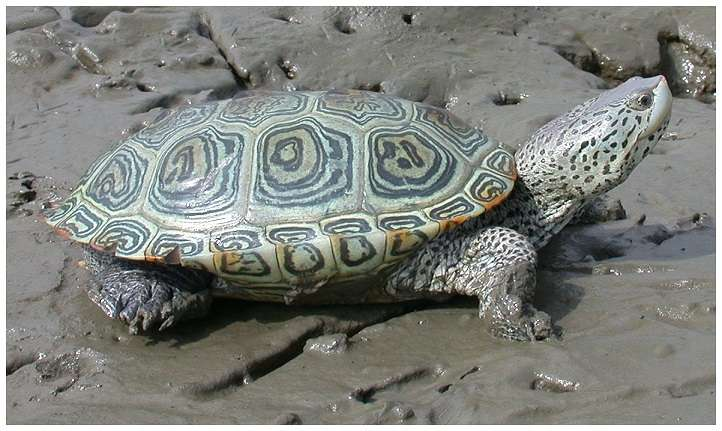 La tortue à dos de diamant pourrait-elle aussi prendre le chemin de la mer, comme sa cousine Mauremys rivulata l'a vraisemblablement fait en Méditerranée ? © JD Wilson, Plos One, cc by sa 2.5