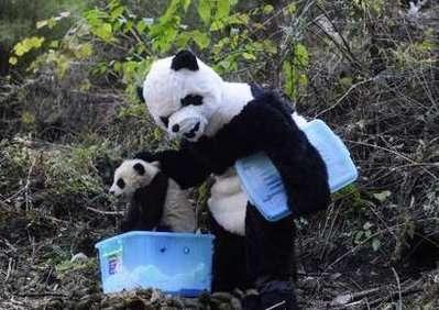 Le « panda géant » prend le bébé pour pouvoir effectuer des mesures. © DR
