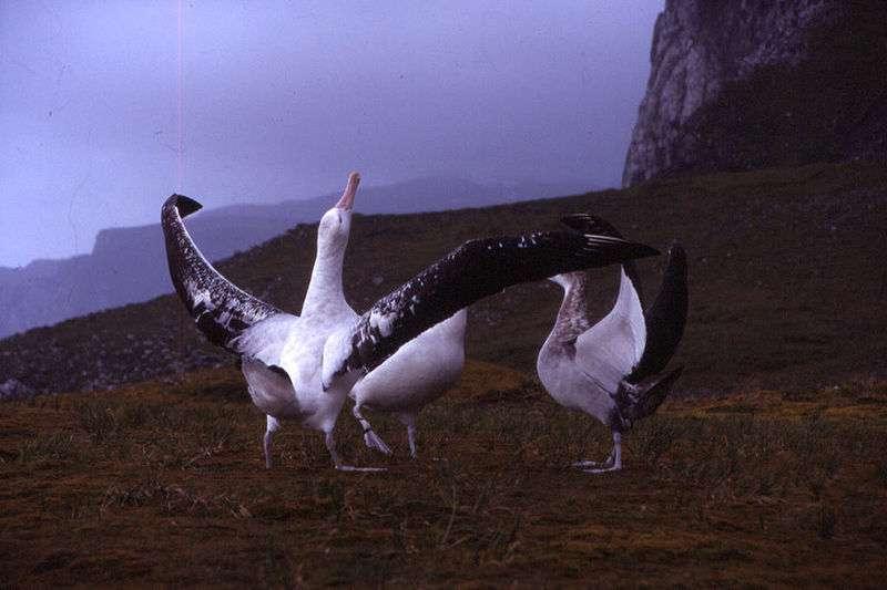 Albatros hurleur paradant. © Dimitri Damasceno, CC-by-SA 2.0