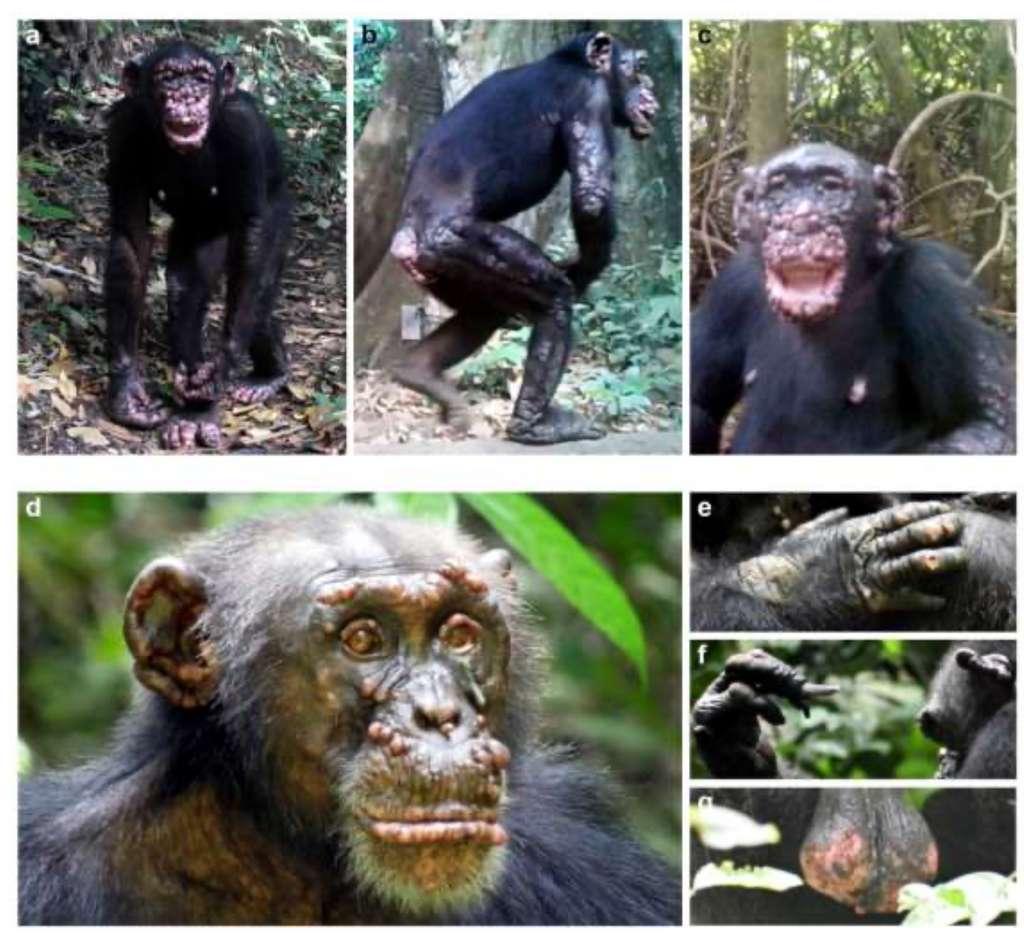 Photos prises par les scientifiques de plusieurs chimpanzés malades de la lèpre en Guinée-Bissau et en Côte d'Ivoire. © Kinberly J. Hockings et al. BioRxiv