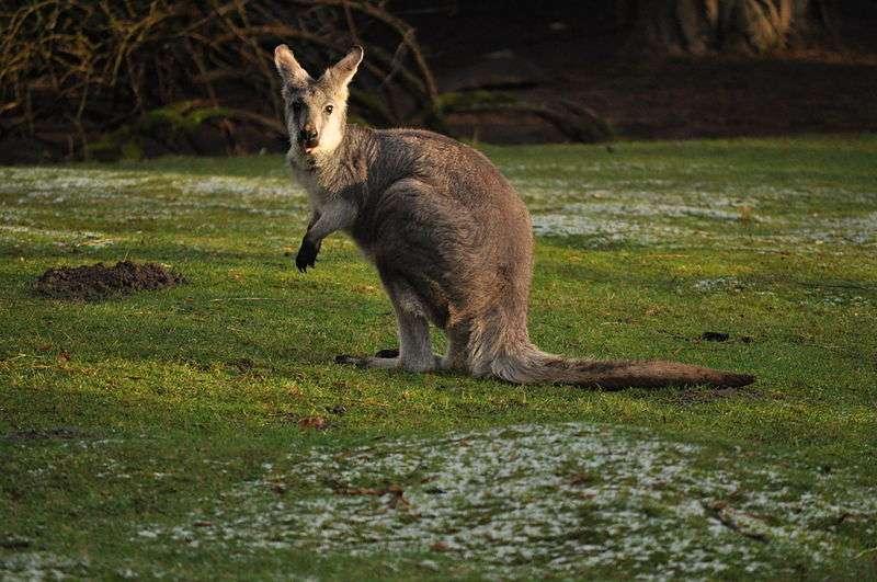 Wallaby à cou rouge. © Joe Mabel, Wikipédia, GNU 1.2