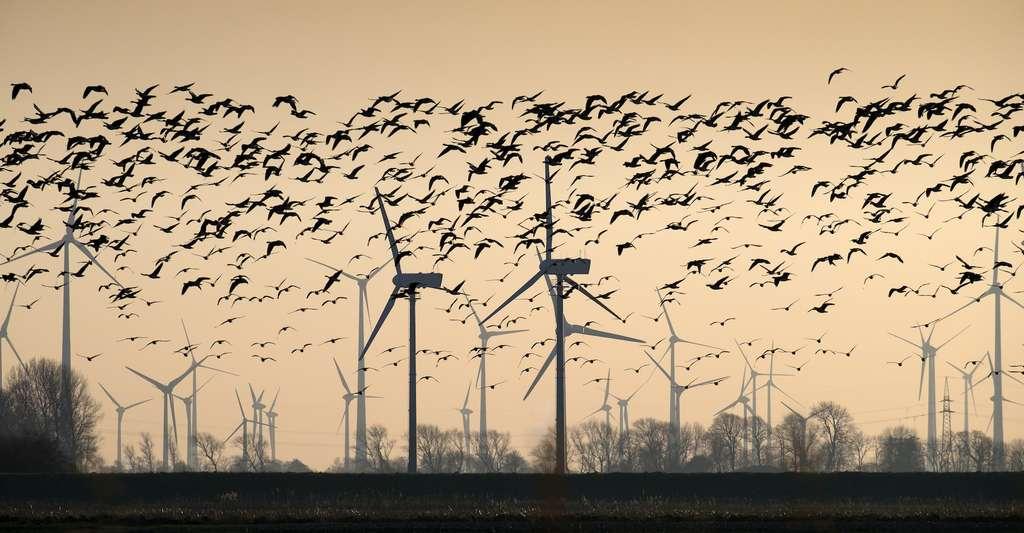 Autour des éoliennes, la mortalité des oiseaux reste faible. © kranidi, Adobe Stock
