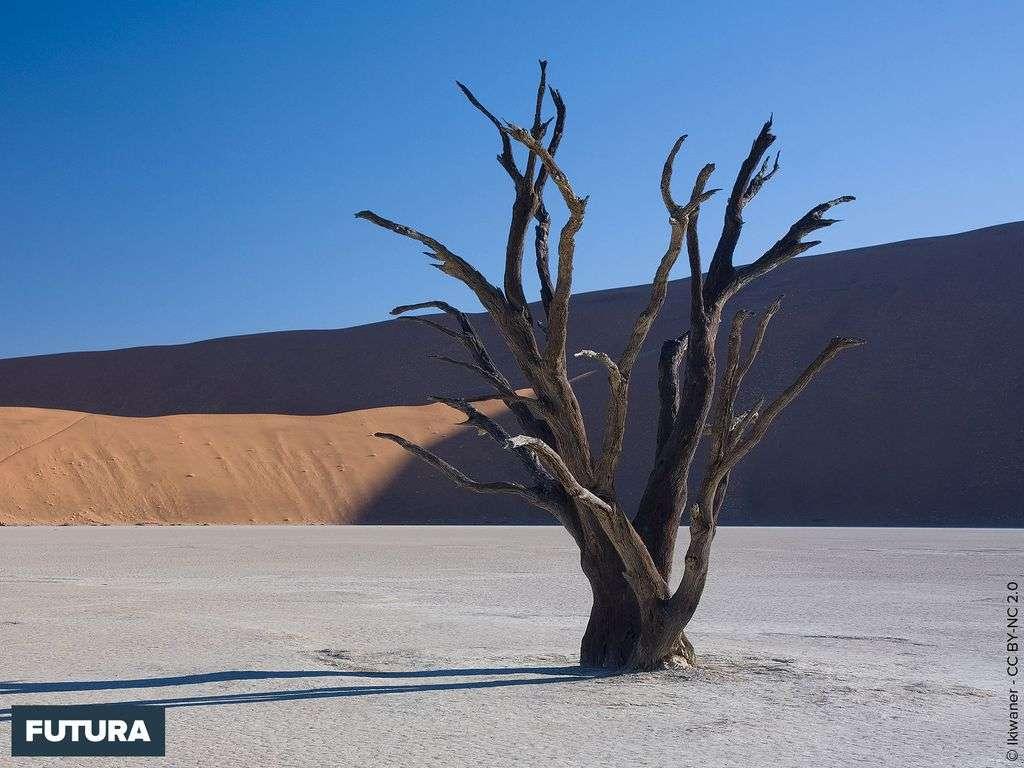 Acacia mort dans Sossusvlei - Désert de Namibie