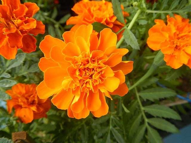 Fleurs très odorantes d'œillet d'Inde. ©Judgefloro, Domaine public