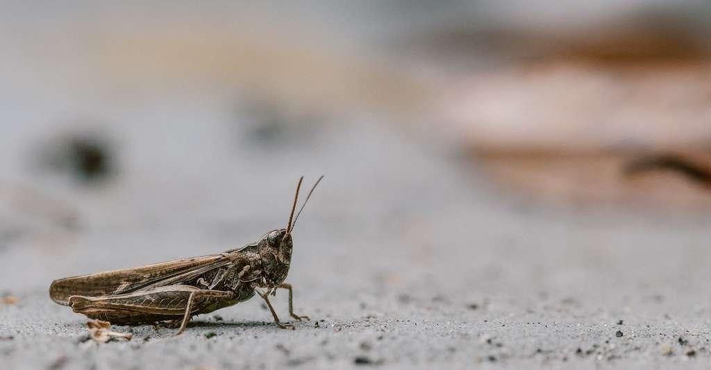 Le criquet possède les antennes les plus courtes. © brenkee, Pixabay, DP