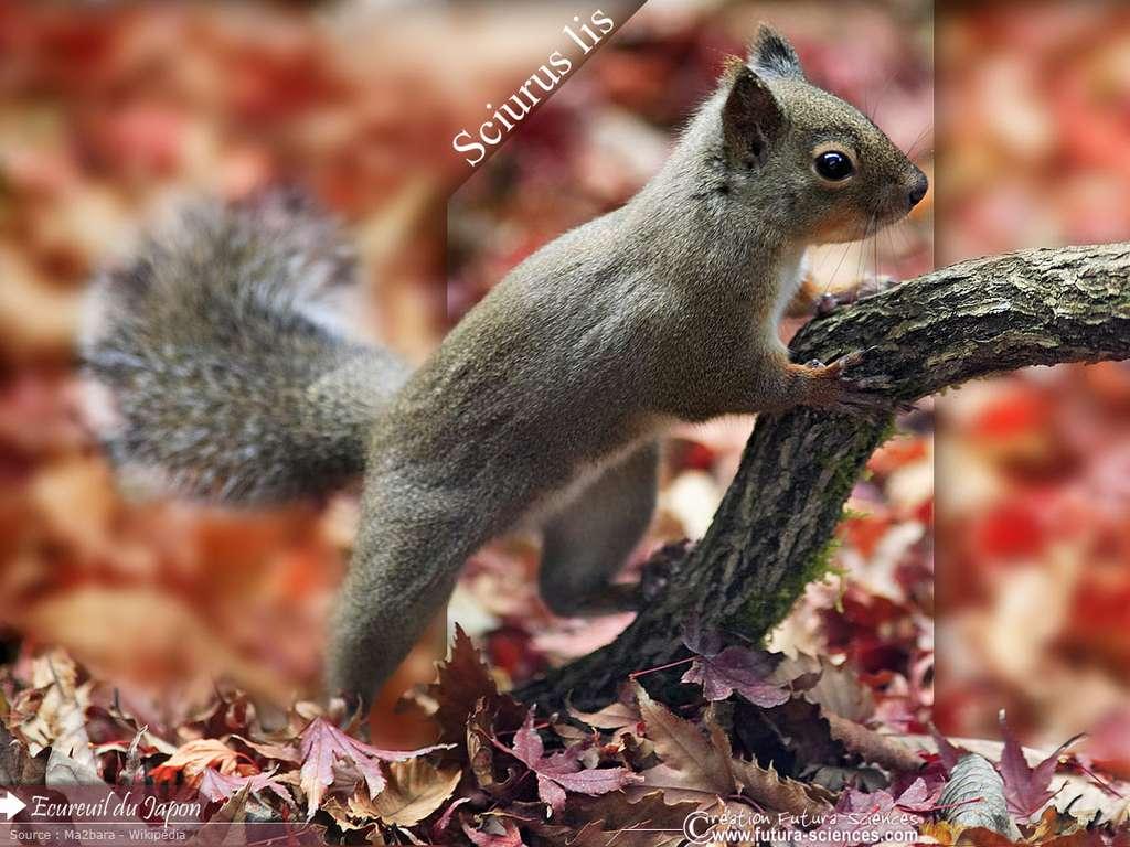 Ecureuil du Japon