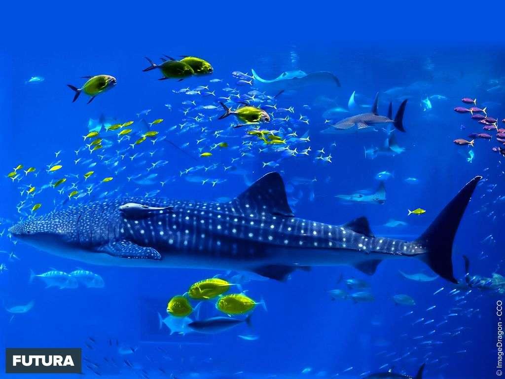 Requin baleine et petits poissons