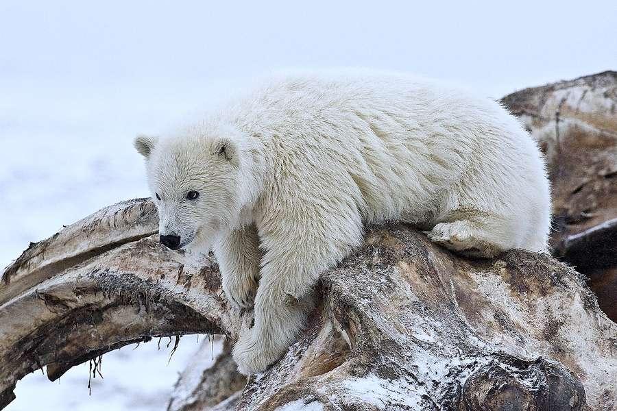 Ours polaire sur l'île Barter, en Alaska