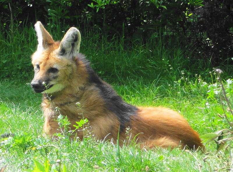 Loup à crinière. © Jutta234, CCA-S A 3.0 Unported license