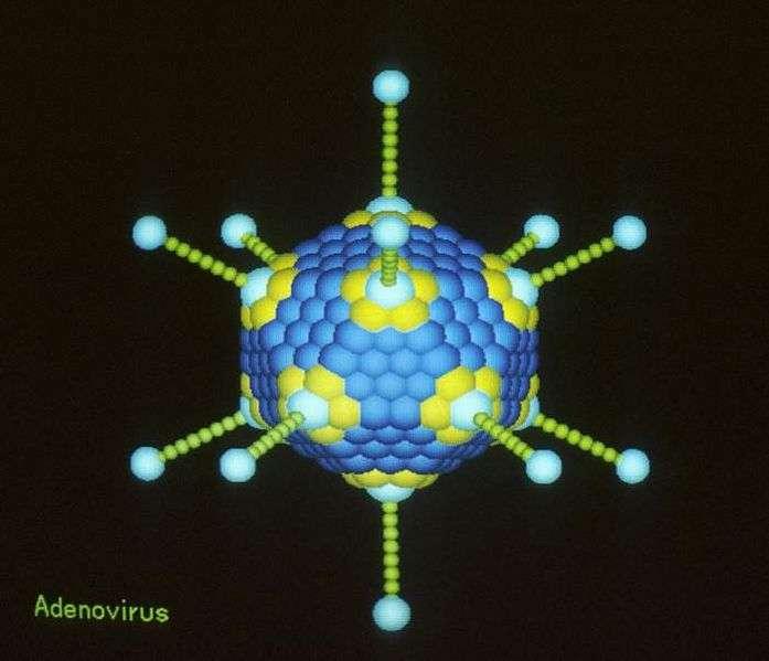 Les adénovirus sont très utilisés dans la recherche pour leurs propriétés génétiques et leurs capacités à infecter les cellules humaines sans dommage. En y plaçant des séquences de gènes du virus de la grippe, Suresh Mittal espère pouvoir créer un vaccin efficace contre diverses souches de la grippe A(H7N9). © Richard Feldmann, Wikipedia, US Government, DP