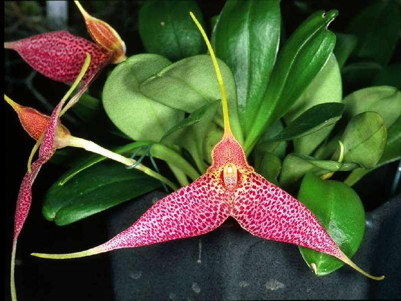 Orchidée Masdevallia decumana