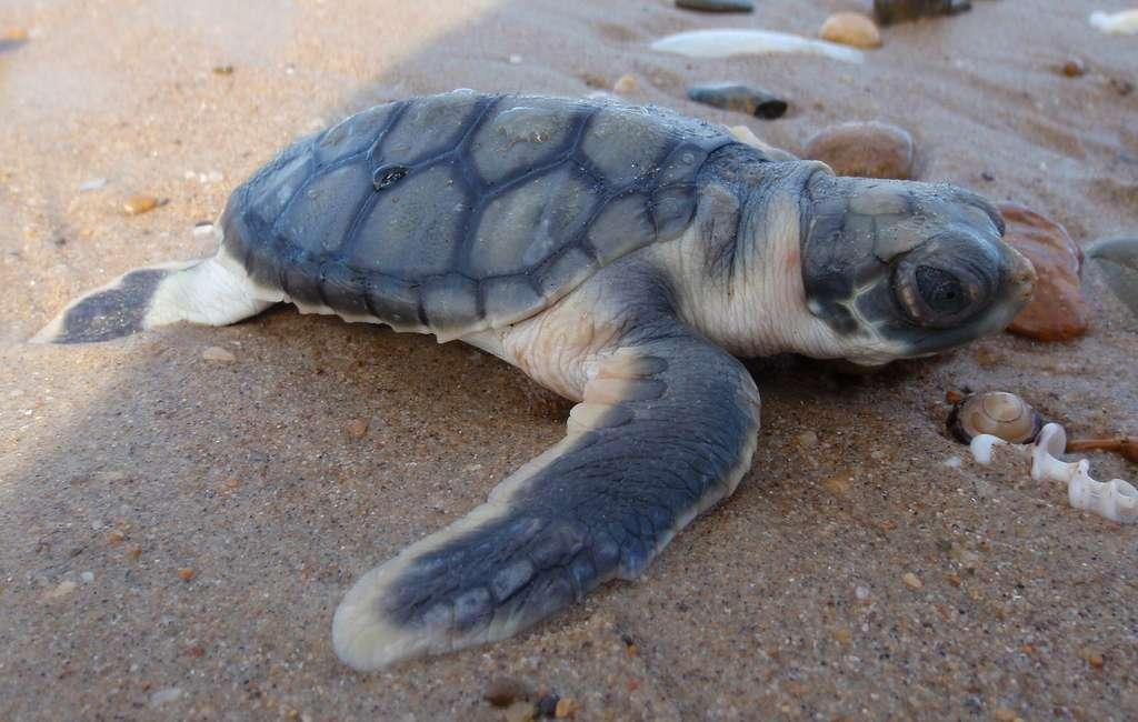 La tortue à dos plat, ou Natator depressus, est l'unique représentante du genre Natator. © Purpleturtle57, Wikimedia Commons, CC BY-SA 3.0
